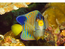 Regal Angelfish - Angelfish<br>(<i>Pygoplites diacanthus</i>)