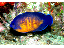 Two-spined Angelfish - Angelfish<br>(<i>Centropyge bispinosa</i>)