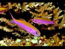 Magenta Slender Anthias - Grouper<br>(<i>Luzonichthys waitei</i>)