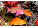Scalefin Anthias - Grouper<br>(<i>Pseudanthias squamipinnis</i>)