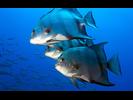 Atlantic Spadefish - Spadefish<br>(<i>Chaetodipterus faber</i>)