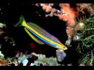 Bluestriped Fangblenny - Blenny<br>(<i>Plagiotremus rhinorhynchos</i>)