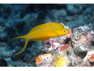 Fiji Fangblenny (Plagiotremus flavus; prev. known as P. oualanensis) - Blenny<br>(<i>Plagiotremus flavus</i>)