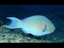 Bluechin Parrotfish - Parrotfish - Loro<br>(<i>Scarus ghobban</i>)