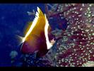 Humphead Bannerfish - Butterflyfish<br>(<i>Heniochus varius</i>)