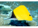 Longnose Butterflyfish - Butterflyfish<br>(<i>Forcipiger flavissimus</i>)
