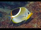 Saddled Butterflyfish - Butterflyfish<br>(<i>Chaetodon ephippium</i>)