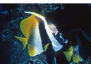 Singular Bannerfish - Butterflyfish<br>(<i>Heniochus singularius</i>)