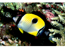 Teardrop Butterflyfish - Butterflyfish<br>(<i>Chaetodon unimaculatus</i>)