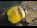 Blacklip Butterflyfish - Butterflyfish<br>(<i>Chaetodon kleinii</i>)