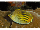 Dot & Dash Butterflyfish - Butterflyfish<br>(<i>Chaetodon pelewensis</i>)