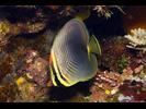 Eastern Triangular Butterflyfish - Butterflyfish<br>(<i>Chaetodon baronessa</i>)