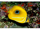 Eclipse Butterflyfish - Butterflyfish<br>(<i>Chaetodon bennetti</i>)