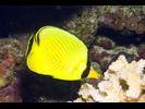 Latticed Butterflyfish - Butterflyfish<br>(<i>Chaetodon rafflesi</i>)