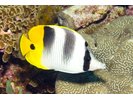 Pacific Double-saddle Butterflyfish - Butterflyfish<br>(<i>Chaetodon ulietensis</i>)