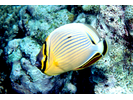 Redfin Butterflyfish - Butterflyfish<br>(<i>Chaetodon lunulatus</i>)