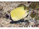 Speckled Butterflyfish - Butterflyfish<br>(<i>Chaetodon citrinellus</i>)