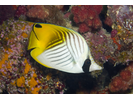 Threadfin Butterflyfish - Butterflyfish<br>(<i>Chaetodon auriga</i>)