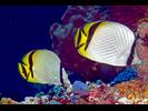 Vagabond Butterflyfish - Butterflyfish<br>(<i>Chaetodon vagabundus</i>)