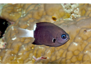 Bicolor Chromis - Damselfish<br>(<i>Chromis margaritifer</i>)