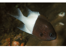 Pacific Half-and-half Chromis - Damselfish<br>(<i>Chromis iomelas</i>)