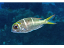 Redfin Bream - Emperor<br>(<i>Monotaxis heterodon</i>)