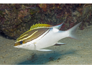 Bridled Monocle Bream - Coral Bream<br>(<i>Scolopsis bilineata</i>)
