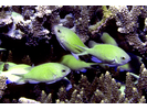 Blue-green Chromis - Damselfish<br>(<i>Chromis viridis</i>)