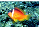 Fiji Anemonefish - Damselfish<br>(<i>Amphiprion barberi</i>)