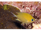 Ambon Chromis - Damselfish<br>(<i>Chromis amboinensis</i>)