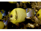 Whitetail Damsel - Damselfish<br>(<i>Pomacentrus chrysurus</i>)