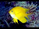 Golden Damsel - Damselfish<br>(<i>Amblyglyphidodon aureus</i>)