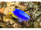 Neon Damsel - Damselfish<br>(<i>Pomacentrus coelestis</i>)