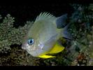 Orbicular Damsel - Damselfish<br>(<i>Amblyglyphidodon orbicularis</i>)