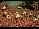 Reticulated Dascyllus - Damselfish<br>(<i>Dascyllus reticulatus</i>)