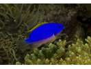 South Seas Devil - Damselfish<br>(<i>Chrysiptera taupou</i>)