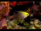 Talbot's Demoiselle - Damselfish<br>(<i>Chrysiptera talboti</i>)