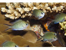 Ternate Chromis - Damselfish<br>(<i>Chromis ternatensis</i>)