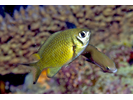 Weber's Chromis - Damselfish<br>(<i>Chromis weberi</i>)