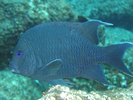 Giant Damselfish adult - Damselfish - Jaqueta<br>(<i>Microspathodon dorsalis</i>)