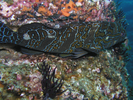 Giant Hawkfish - Hawkfish - Halcón<br>(<i>Cirrhitus rivulatus</i>)