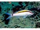 Dash-dot Goatfish - Goatfish<br>(<i>Parupeneus barberinus</i>)