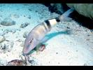 Manybar Goatfish - Goatfish<br>(<i>Parupeneus multifasciatus</i>)