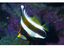 Pennant Bannerfish - Butterflyfish<br>(<i>Heniochus chrysostomus</i>)