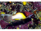 Blackbelt Hogfish - Wrasse<br>(<i>Bodianus mesothorax</i>)