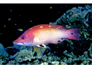 Redfin Hogfish - Wrasse<br>(<i>Bodianus dictynna</i>)