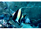 Moorish Idol - Moorish Idol<br>(<i>Zanclus cornutus</i>)