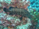 Panama Graysby - Seabass - Cabrilla Y Mero<br>(<i>Cephalopholis panamensis</i>)