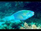 Bullethead Parrotfish (Pacific) - Parrotfish<br>(<i>Chlorurus spilurus</i>)