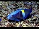 Yellowbar Parrotfish - Parrotfish<br>(<i>Scarus schlegeli</i>)